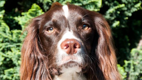 Kaspa - Brackenbury Dog